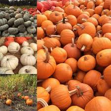 Half Moon Bay Pumpkin Patches 2015 by Home Arata Pumpkin Farm Hmb Ca Petting Farm Pony Rides