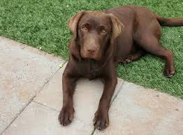Chocolate Lab Puppy Suffers 150 Bee Stings In La Habra Heights ... Grumpy Senior Dog In The Backyard Stock Photo Akchamczuk To With Love January 2017 Friendly Ideas In Garden Pricelistbiz Portrait Of Female Boxer Dog Standing On Grass Backyard Lavish Toys For Dogs Toy Organization February Digging Create A Sandbox Just For His Digging I Like Quite Moments Fall Wisconsin Quaint Revival Yesterday Caught My Hole Today Unique Toys Architecturenice Cia Fires Since Sniffing Bombs Wasnt Her True Calling Time A View From Edge All Love Part Two