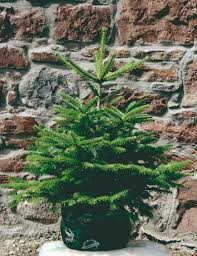 Fresh Christmas Trees Types by Blue Spruce And Korean Fir Christmas Trees Needlefresh Uk