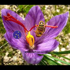 downloadable picture crocus sativus bloom saffron photo 10