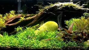 What Substrate To Use In A Planted Aquarium. - YouTube Httpwwwaquariuesigngroupcomdataphotos Low Tech Tank Showandtell Low Tech Can Be Lush Too The Aquascaping Styles Aquariums Planted Aquarium And Fish Tanks 101 Best Small Size Images On Pinterest Aquarium Nature Style Aquascape Awards Best Substrate For Betta 268993 Concave Convex Triangular Rectangular Aquascapes Aquascapers With Plastic Plants Only _ Ideas 106 Fluval Edge Inspiration Ohko Stone Forum Art Theories Tips Keeping Basics Love