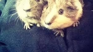 Can Guinea Pigs Eat Salted Pumpkin Seeds by Welcome To Online Guinea Pig Care