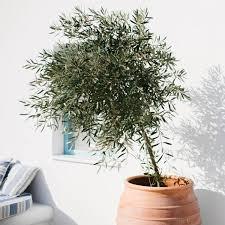 olivenbaum überwintern frostschutz für die kübelpflanze