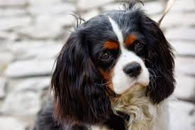 Non Shedding Dog Breeds Small by U0027s Dog Blog 25 Tricolor Dog Breeds