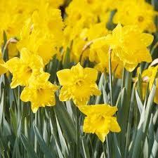 daffodil flower bulbs garden plants flowers the home depot