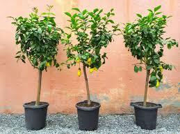 zitronenbaum überwintern standort pflege plantura
