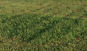 Carpet Grass Florida by Plantanswers Plant Answers U003e Floratam St Augustine Grass The