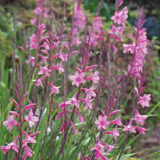 watsonia lilac towers garden express