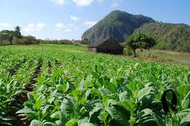 Cuba To Close 2017 Cigar Harvest With Nearly 30000 Tons Of Tobacco Leaves