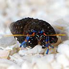 Halloween Hermit Crab Lifespan by Saltwater Crabs Hermit Crab Species For Saltwater Tanks