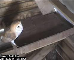New Resident At Garden's Purpose Built Barn Owl Tower | Falmouth ... Heligan Celebrates Three Wins At 2014 Visit Cornwall Awards Leucistic Crows Wwildlifekatecouk Looduskalender View Topic Owls Around The World Tawny Owl On Nest Box Camera Youtube My Inspiration I Begin A Journey Into Dslr Trapping Www Stow Maries Heaven Mrscbo Gets Aggressive With Cam Barn Trustwildlifetv Chicks Farm Uk Stock Photos Images Alamy Blackbird Nest Drama Kestrels Little And Red Squirrels Uglybug Jackdaw