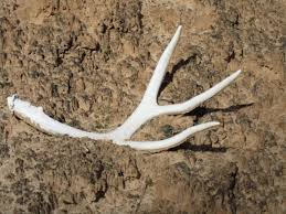 Shed Hunting Utah 2017 by Dwr Guidelines For Antler Hunting U2013 St George News