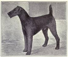 Do Airedale Puppies Shed by Airedale Terrier Wikipedia