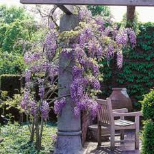 planting wisteria in a pot wisteria sinensis prolific parkers wholesale