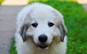 great pyrenees puppies breed information puppies for sale