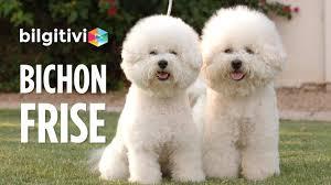 List Of Non Shedding Hypoallergenic Dogs by Bichon Frise Cinsi Köpeklerin özellikleri Youtube