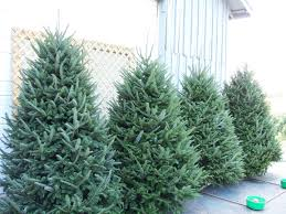 Fraser Fir Christmas Trees Nc by Burlington Nc Fresh Christmas Trees Mistletoe Meadows