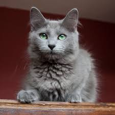 russian cat names nebelung kitty my family actually owns one but they re a fairly