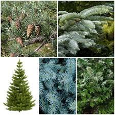 Christmas Tree Seed Collection
