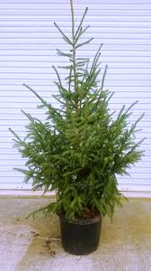 10ft Christmas Tree Canada by Store Adopt A Christmas Tree