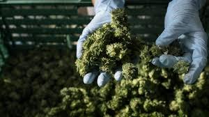 cannabis in bad bramstedt hochsicherheitslager für legales