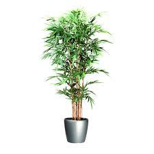 bambou en pot interieur proprit informations sur l intérieur et