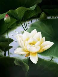Water Lily Water Garden Pinterest