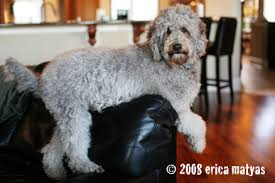 labradoodle shedding do labradoodles shed