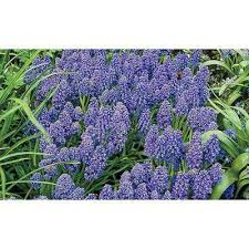 hyacinth garden plants flowers garden center the home depot