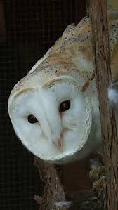 Owls, Ghosts And Noises In The Night - The Owls Trust Barn Owl Tyto Alba Onyx On The Left Is A British Male Flickr Fimale 3 6942373687jpg Wikimedia Commons Ruffled Feathers November 2014 Mysterious Wise Barn Owl In Shadows Nocturnal Hunter World Bird Sanctuary January 2013 Owls Ghosts And Noises Night The Trust Lone Pine Koala Owlline Owllinelovers Twitter Audubon Field Guide A Brief Introduction To Common Types Of Barney California Raptor Center Connecticuts Beardsley Zoo
