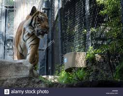 Tiger Pacing Stock Photos & Tiger Pacing Stock Images - Alamy 45 Tiger Truck Stop Trucker Jims Truckin Journey Youtube The Is Here To Stay Vice Kept At Iberville Parish Truck Stop Dies Tony The Update Owner Plans Pursue Another Tiger Stuff For Free Jobyronkuhnercom Kept At For 17 Years Dies But Legal Battle Isn September 28 2015 2 Louisiana Cdllife Abandoned Sign Along I2 Flickr