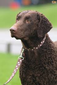 Chesapeake Bay Retriever Shed Hunting by Chesapeake Bay Retriever Pictures Posters News And Videos On