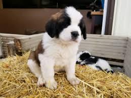 adopt local dogs puppies in winnipeg pets kijiji classifieds