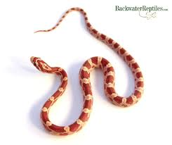 Corn Snake Shedding Signs by Backwater Reptiles Blog Page 12 Of 18 Over 160 Articles For