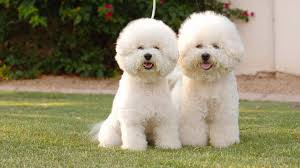 Non Shed Dog Breeds Hypoallergenic by 10 New Non Allergenic Dog Breeds