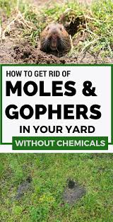 How To Get Rid Of Moles And Gophers In Your Yard Without Chemicals ... How To Get Rid Of Moles Organic Gardening Blog Cat Captures Mole In My Neighbors Backyard Youtube Animal Wikipedia Identify And In The Garden Or Yard Daily Home Renovation Tips Vs The Part 1 Damaging Our Lawn When Are Most Active Dec 2017 Uerstanding Their Behavior Mole Gassing Pests Get Correct Remedy Liftyles Sonic Molechaser Alinum Covers 11250 Sq Ft Model 7900