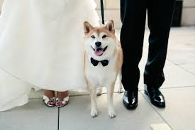 6 answers what is it like raising a shiba inu compared to other