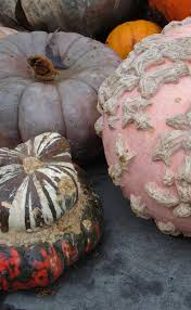 Pumpkin Picking Ridge Ny by 24 Best Warty Pumpkins Images On Pinterest Pumpkins Gourds And