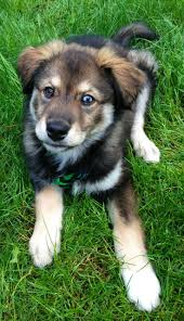 Low Shedding Big Dogs by A Beginner U0027s Guide To Husky Golden Retriever Mix With Pictures