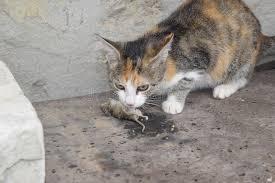 le chat a attrapé la souris le chat mange la souris attrapée