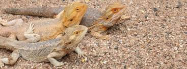 causes of death for bearded dragons bearded dragon care 101