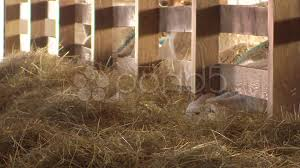 Sheep Eating Hay In A Barn HD | Beaconhouse Media LLC 3 Barns Lessons Tes Teach Hay Barn Interior Stock Photo Getty Images Long Valley Heritage Restorations When Where The Great Wedding Free Hay Building Barn Shed Hut Scale Agriculture Hauling Lazy B Farm With Photos Alamy For A Night Jem And Spider Camp Out In That Belonged To Richardsons Benjamin Nutter Architects Llc Filesalt Run Road With Hoodjpg Wikimedia Commons Press Caseys Outdoor Solutions Florist Cookelynn Project Dry Levee Salvage