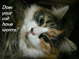 signs of worms in cats symptoms of worms in cats you need to check often