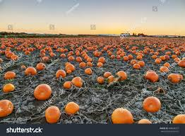 Pumpkin Patch Near Vancouver Washington by Pumpkins Harvesting Field Stock Photo 498608257 Shutterstock