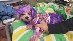 Florida dog nearly s after owner attempts to color it purple