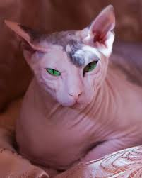 hairless cat price donskoy cat breed profile metaphorical platypus