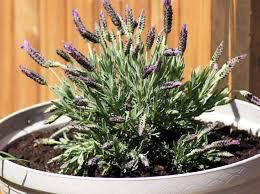 8 pflanzen gegen mücken für balkon garten und wohnung
