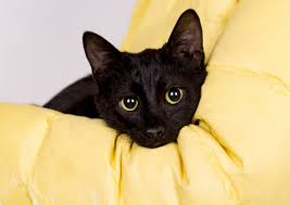 bombay cats 55 awesome bombay cat names we re all about the cats