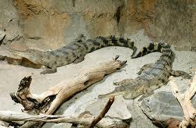 musee de la porte doree les crocodiles de l aquarium de la porte dorée la cité nat flickr