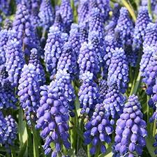 flower bulb forcing kits blue muscari flowering